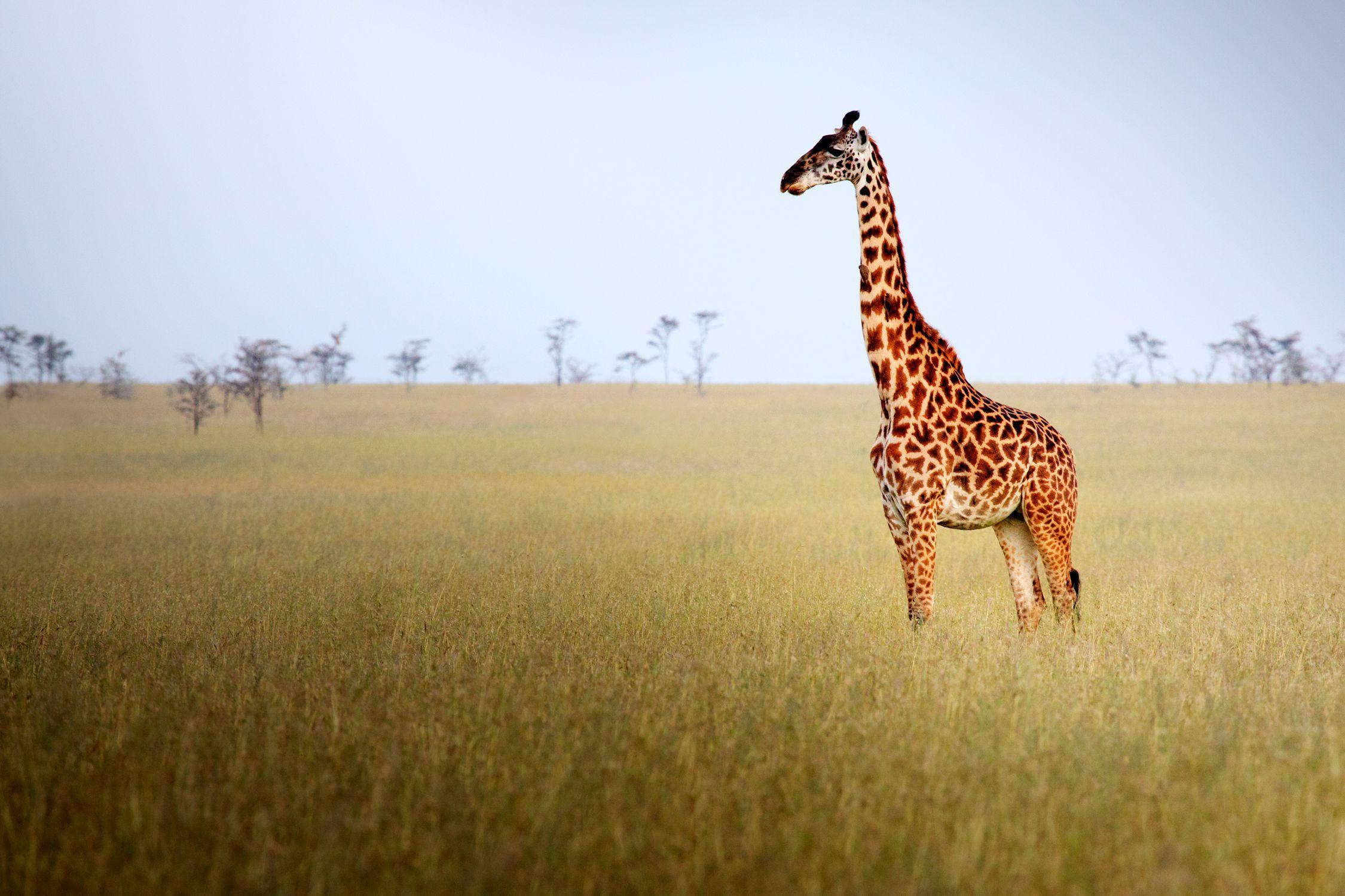 Image result for grassland Grassland biome, Savanna