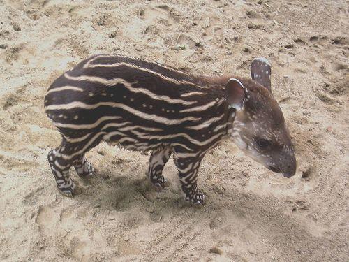 Baby Tapir.