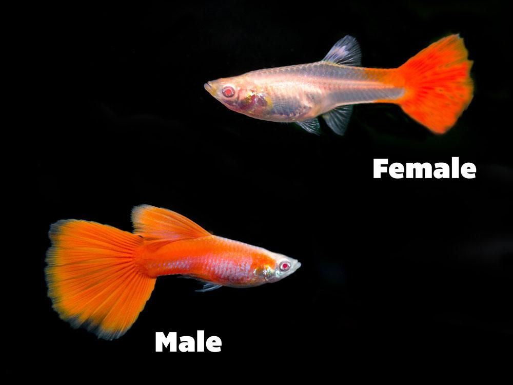 Types Of Guppies Explanation Visual Guide Guppy Guppy Fish Albino