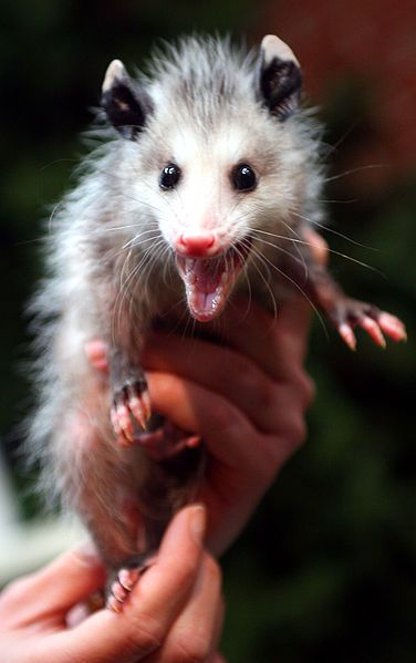 America's only Marsupial