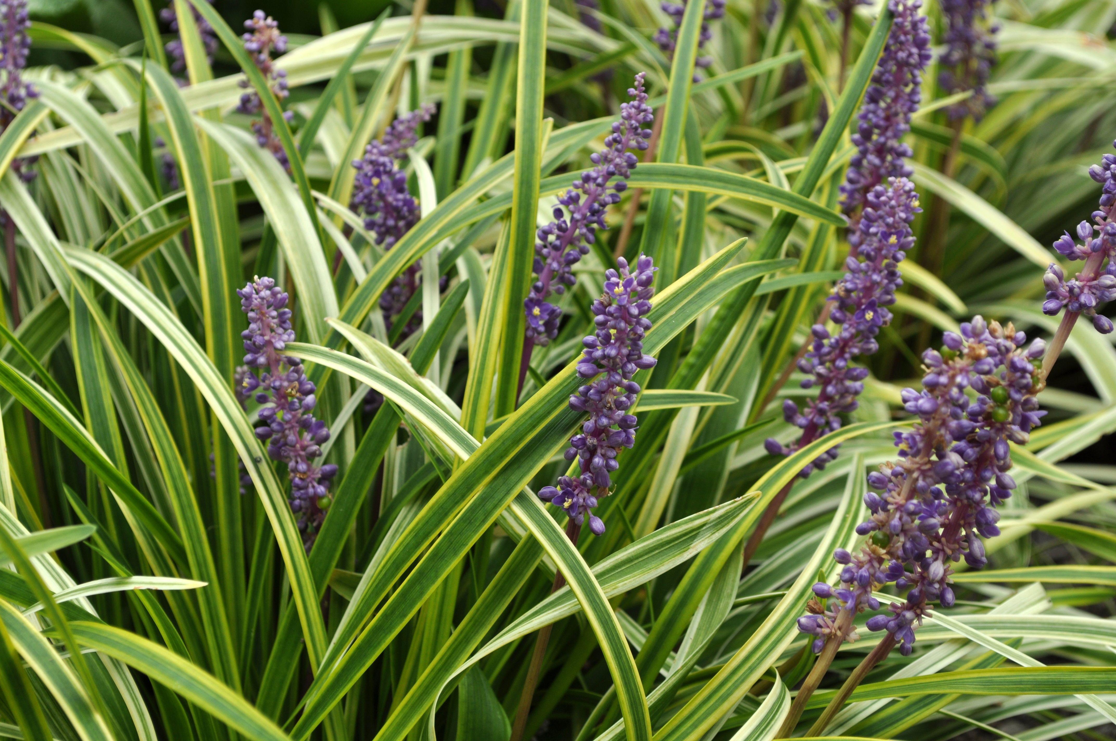 Liriope muscari 'Variegata' Common name Lilyturf Part to