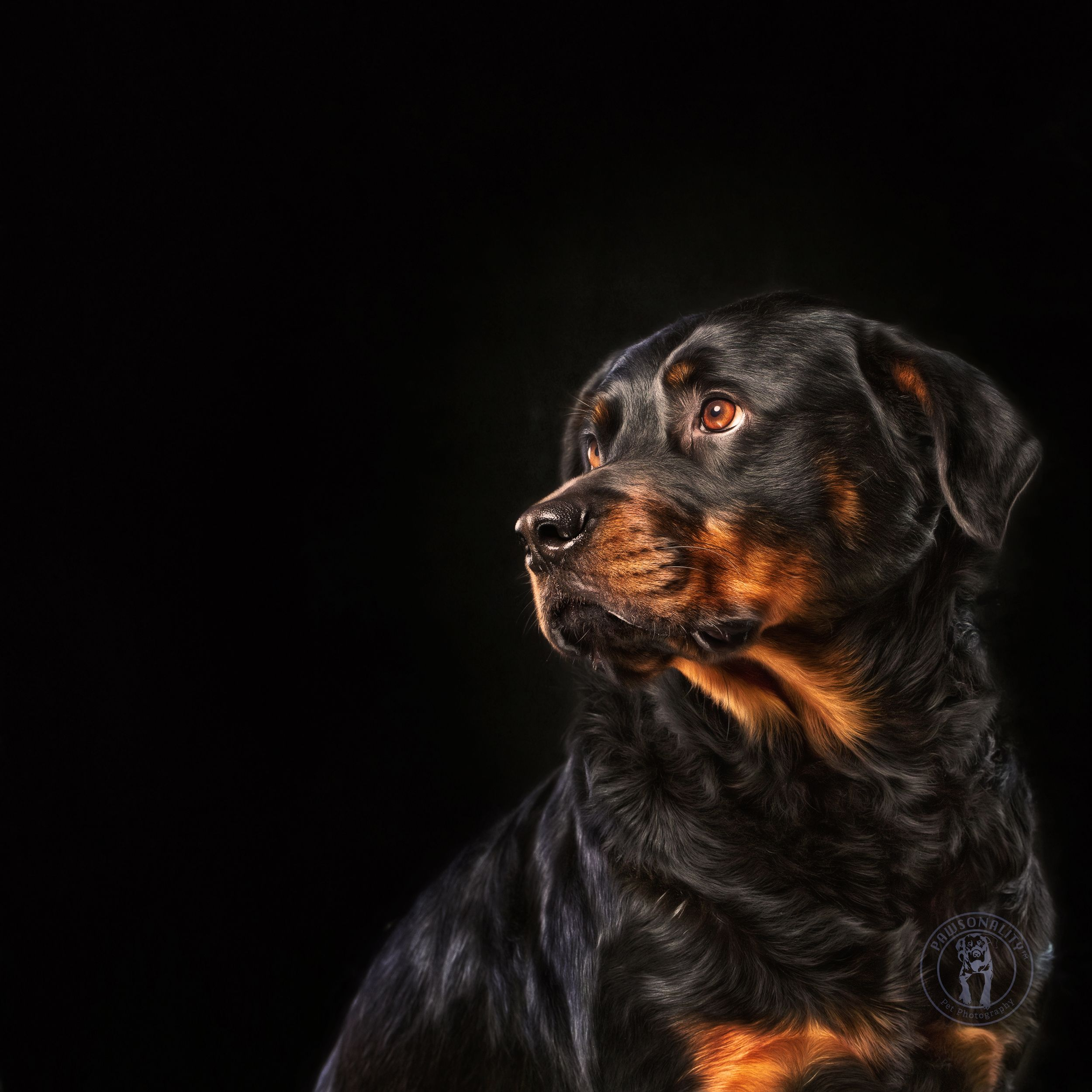 Dreaming Of You A Portrait Of A Female Rottweiler Creative