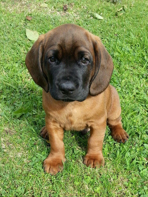Rds 113 Hanover Hound Puppy Bavarian Mountain Hound Bloodhound Dogs Rare Dogs