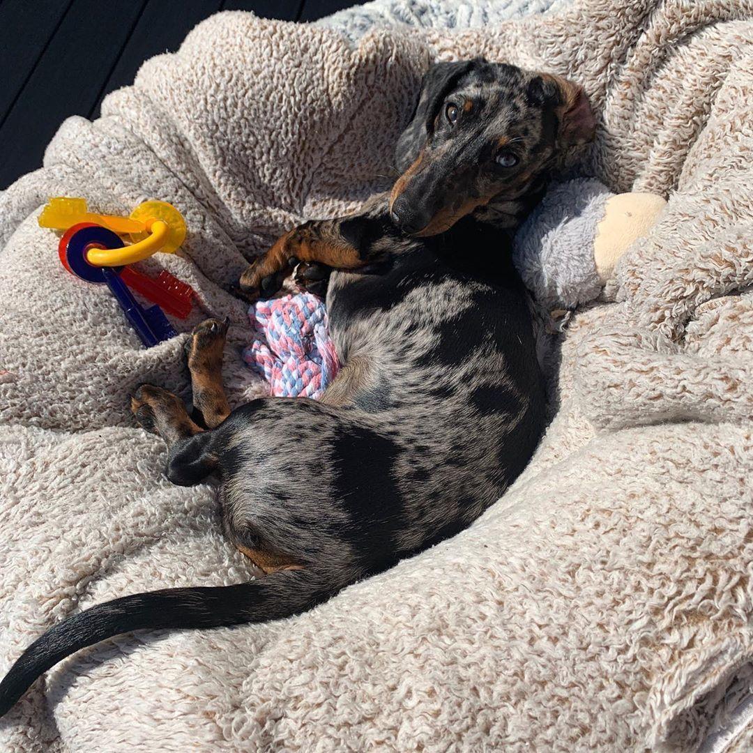 dachshund puppies georgia for sale