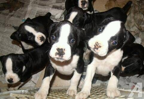 Black Boxer Puppies Purebred Boxer Puppies For Sale In Nj Boxer Puppies Puppies Black Boxer Puppies