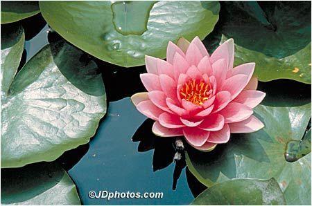 Water Lily Also July Birth Flower Elijah Http Www Iflowers Com Waterlily Html Virtual Flowers July Birth Flower Water Flowers