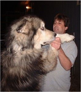 Giant Alaskan Malamute - people ask me about Kavics size all the time, hes only 100lbs. Heres proof about the giants!!