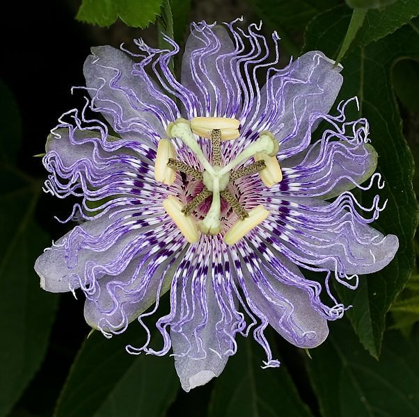 Passion Flower Health Benefits And Side Effects Passion Flower Passion Flower Herb Passion Vine