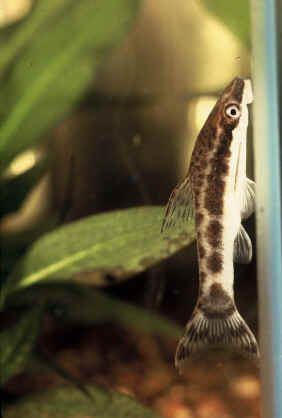 Plecostomus Care | Overview Of The Available Plecostomus Species With Pictures