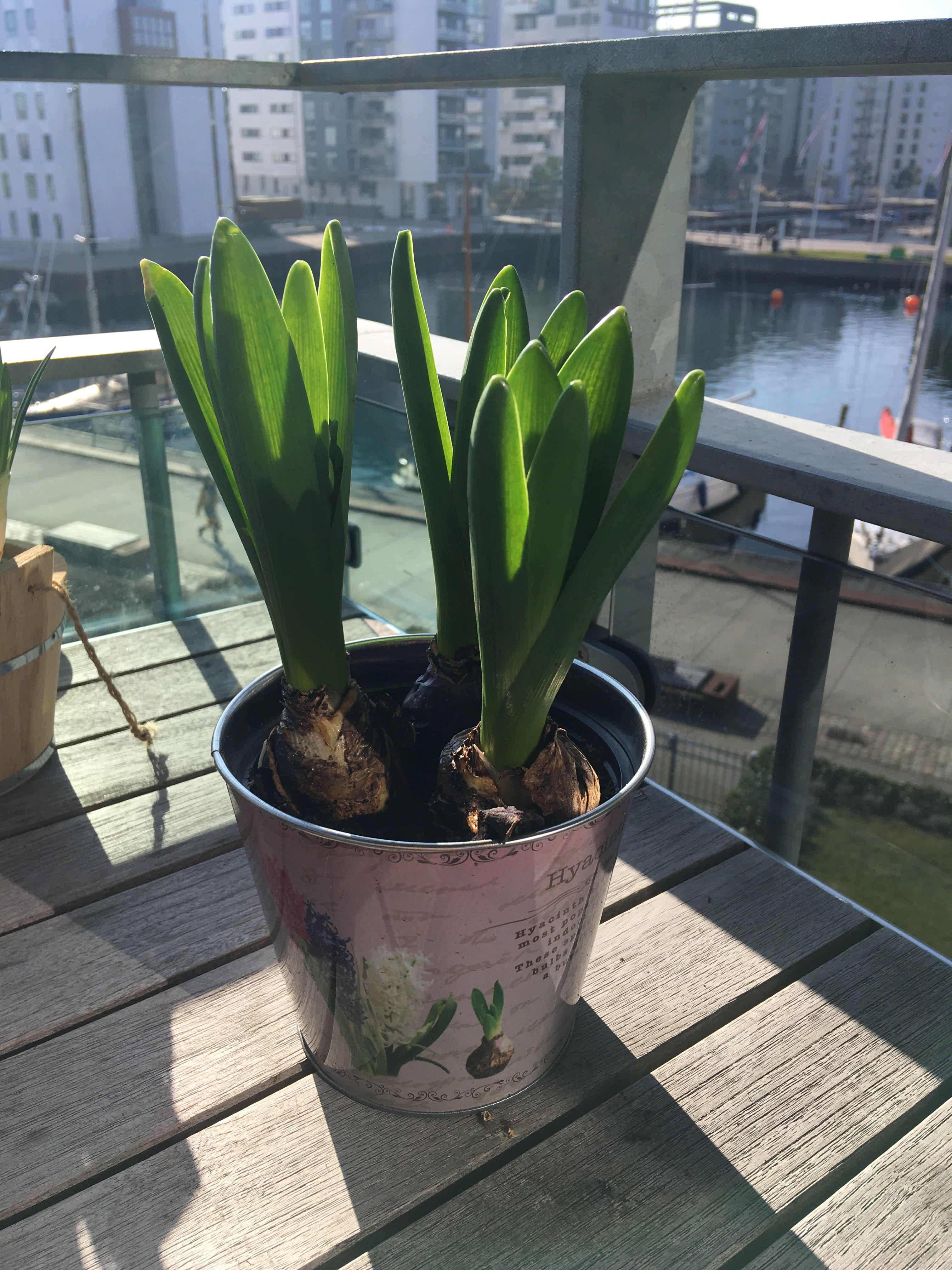 Hyacint Billeder Sunde Vaner Sundhed