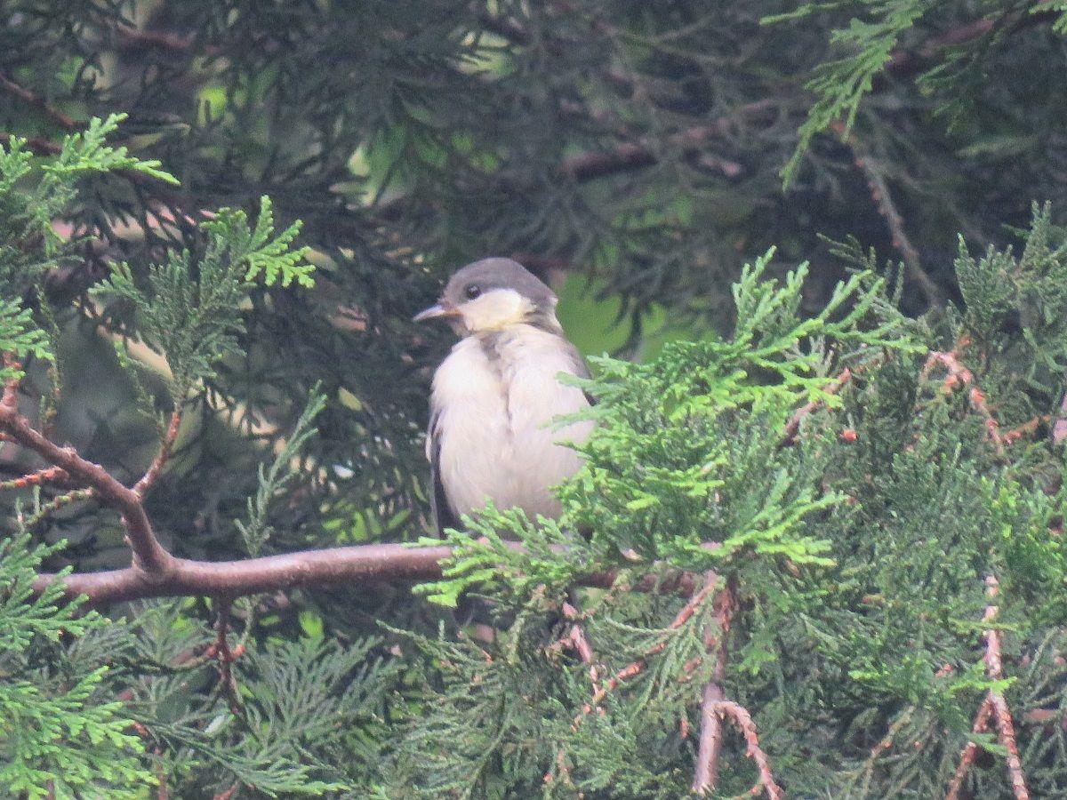 野鳥、シジュウカラ. a juvenile of a Japanese tit . 14 July 2016.