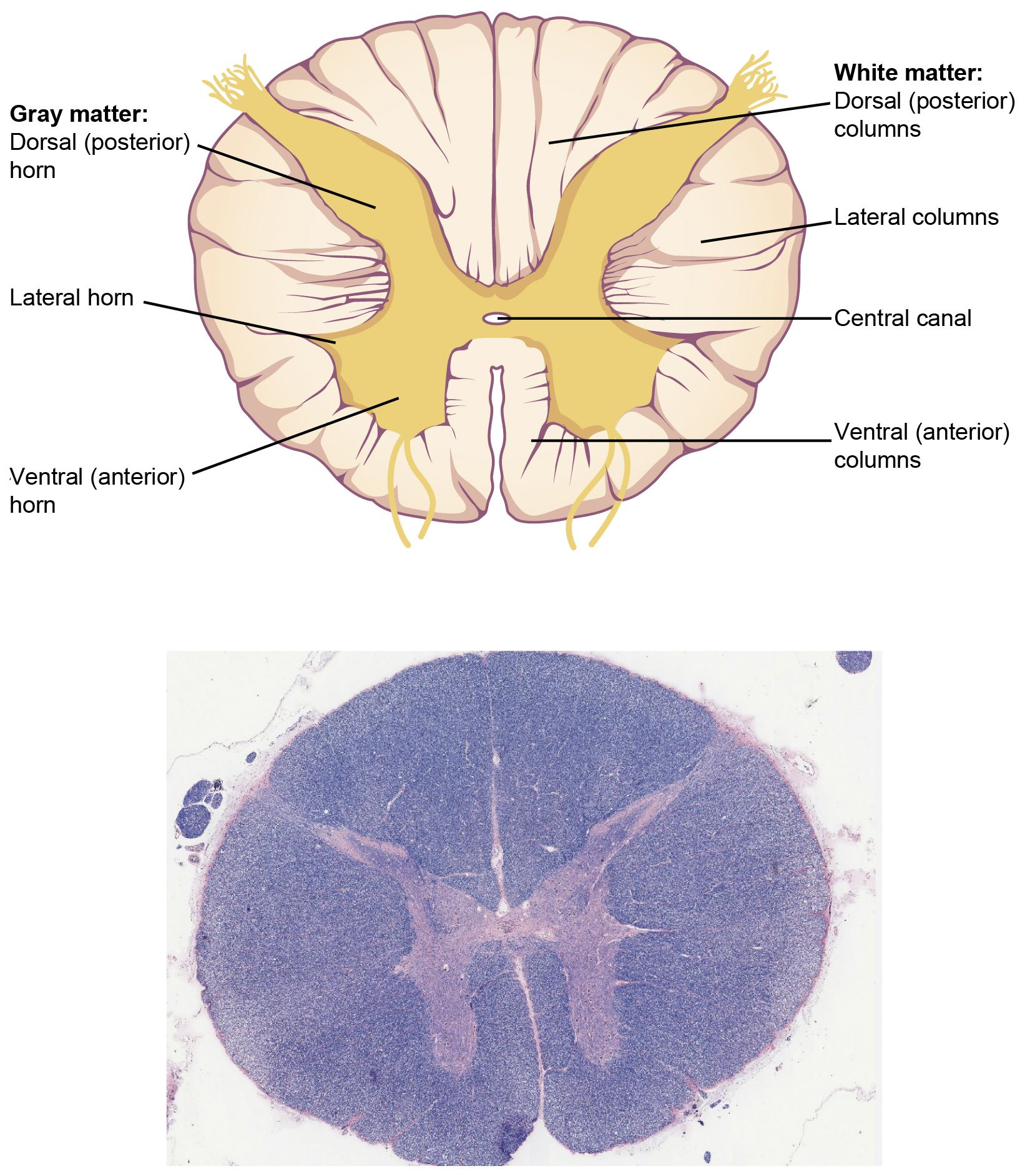 Ou Human Physiology The Central Nervous System