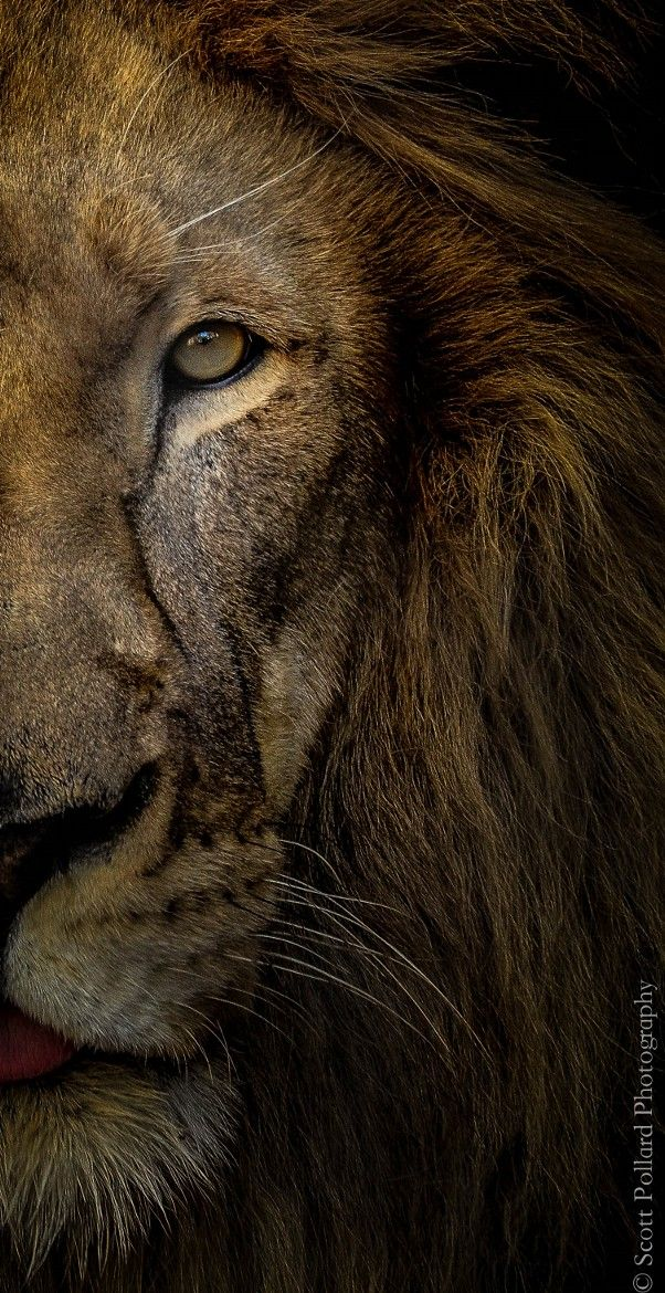 The Lion is Coming Soon! We will hear his fierce roar over