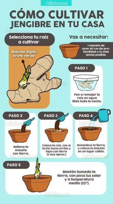 Cultivar jengibre en casa la huerta pinterest for Como iniciar un vivero en casa