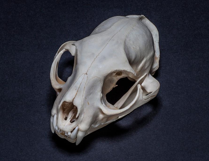 Animal Skull Reference Png 890 685 Skull Reference Skull Animal Skulls