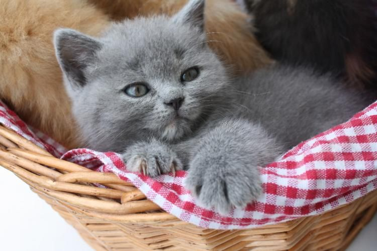 Susse Bkh Kitten Zu Verkaufen In 77704 Oberkirch Bkh Katzen