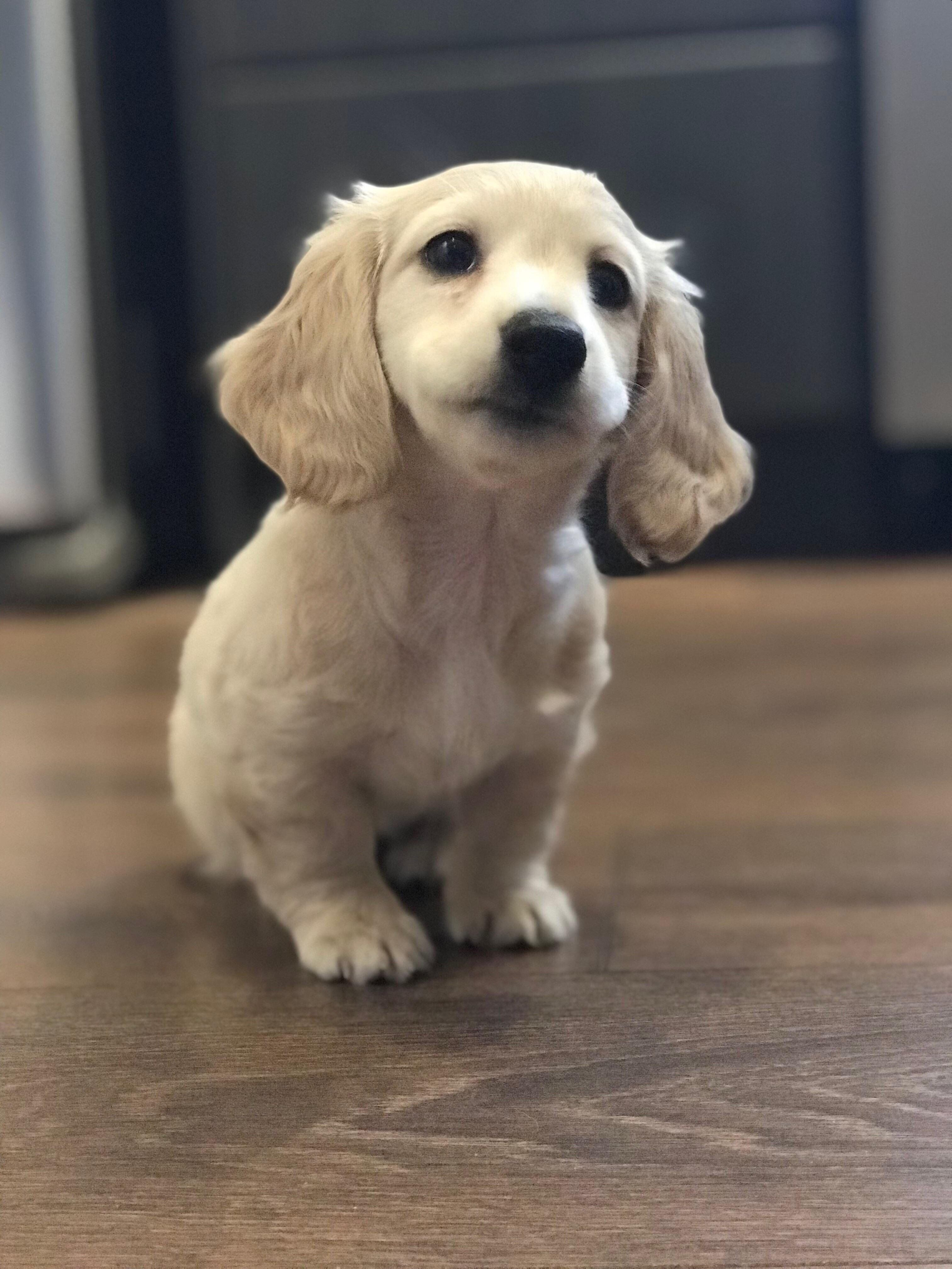 English Cream Dachshund Puppy Eyebleach Puppy Dog Pictures Cute Baby Animals Cute Dogs