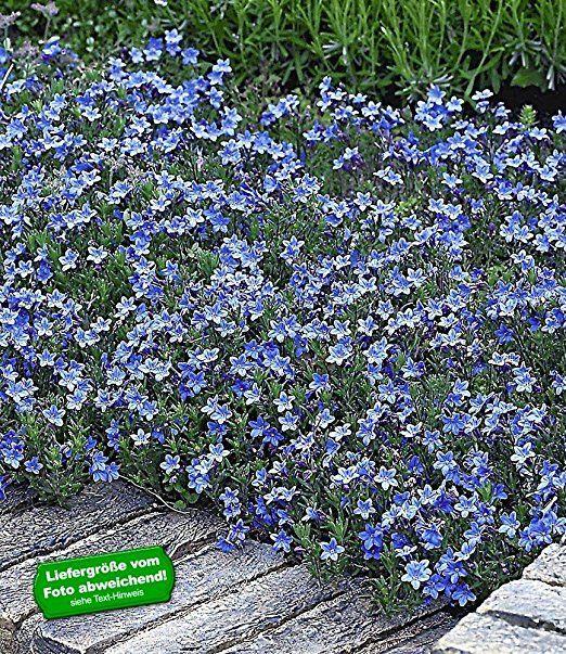 BALDUR-Garten Winterharter Bodendecker Lithodora 'Heavenly Blue', 3 Pflanzen