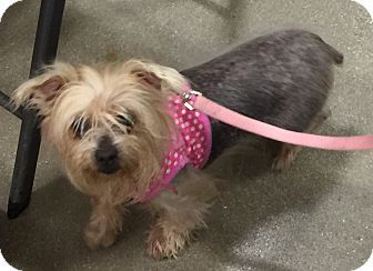 Fort Myers Fl Yorkie Yorkshire Terrier Meet Pepper A Dog For Adoption Http Www Ad Yorkshire Terrier Yorkie Yorkshire Terrier Yorkshire Terrier Puppies