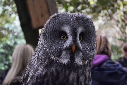 Marshall, Great Grey Owl (Photo by Amy Rovig)