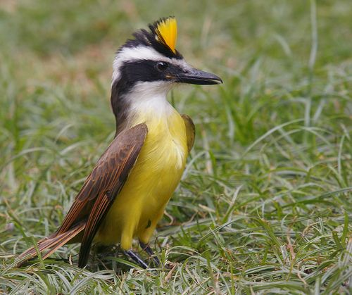 The Kiskadee Is A Small Passerine Bird Of The Flycatcher