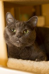 Adopt Olive On Russian Blue Blue Cats Grey Cats