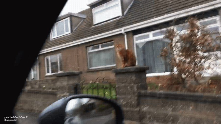 Bengalwaits patiently at the gate every day for owner  to come home - GIF on Imgur