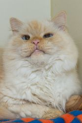 Barry Is An Adoptable Domestic Long Hair Cat In Terryville Ct Barry Chose Us He Was Either Abandoned On Shelter Grounds Or Long Haired Cats Cats Persian Cat