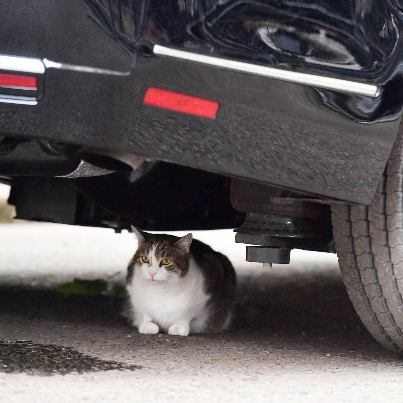 Beloved british cat joins antitrump protests cat hiding