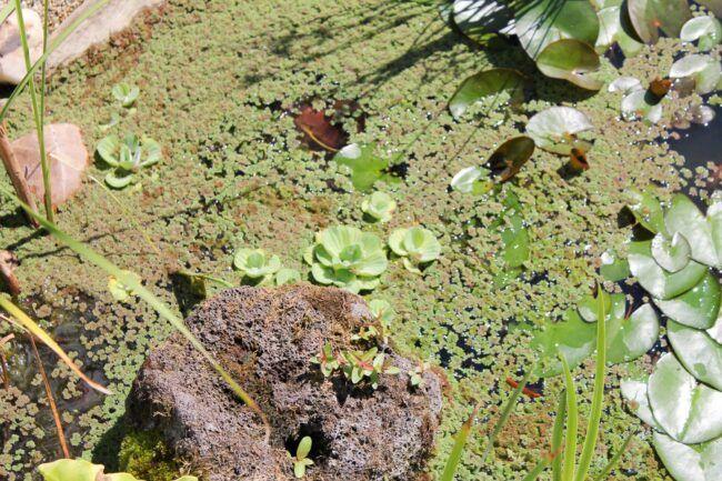 Wie ich die Algen in meinen Teichen los wurde | Dragonflys Gartenblog