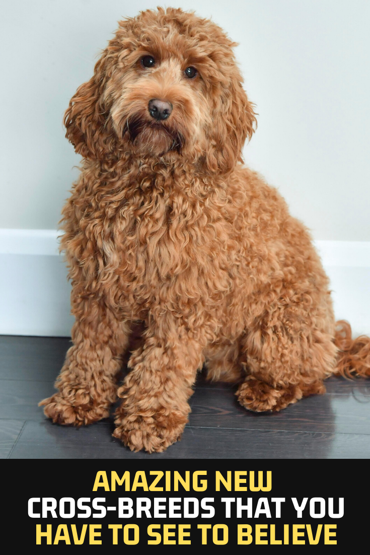 Amazing New Cross Breeds That You Have To See To Believe Dog Club Poodle Cross Breeds Dogs