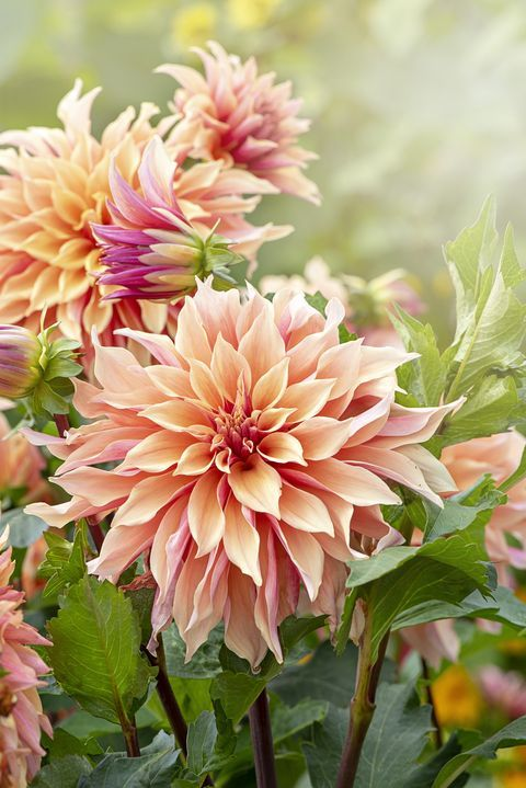 Close-up image of the beautiful peach coloured Decorative Dahlia flower also known as a Dinner Plate Dahlia