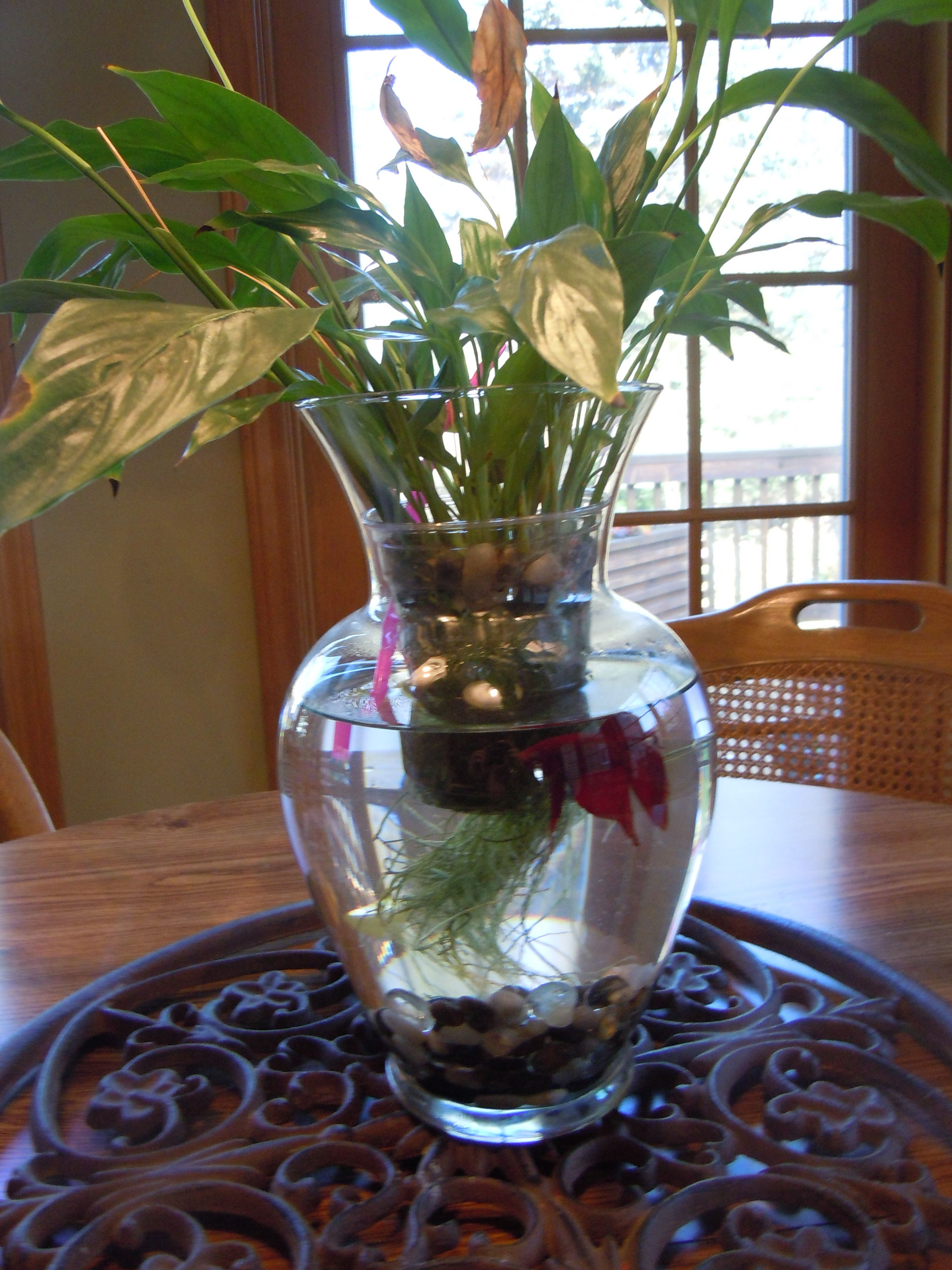 Beta fish tank vase one of my favorites aquariums for Peace lily betta fish