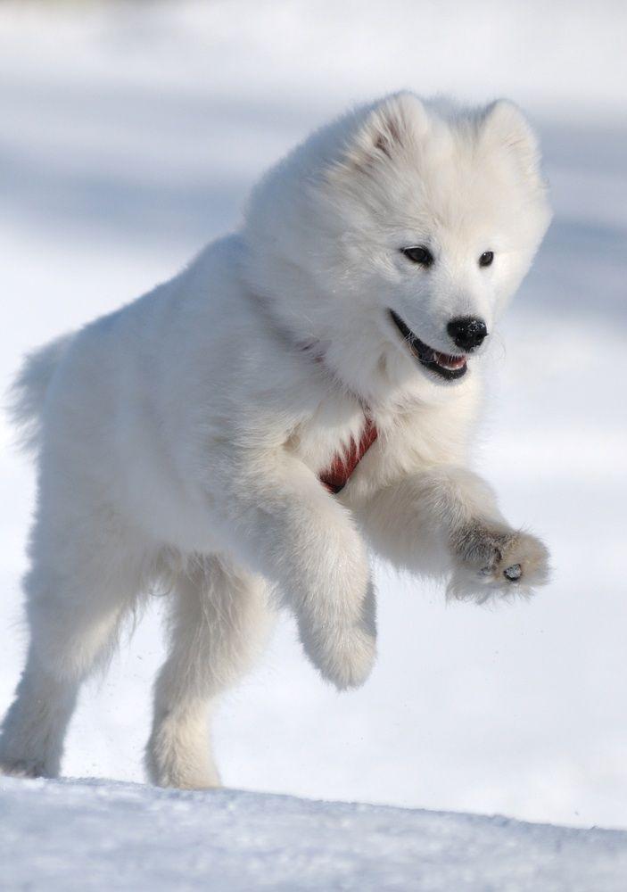 White Alaskan Husky Puppy Samojede Hund Samojede Samojede Welpen