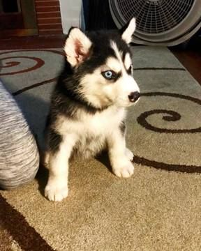 Alaskan Malamute Puppy For Sale In Los Angeles Ca Adn 38552 On
