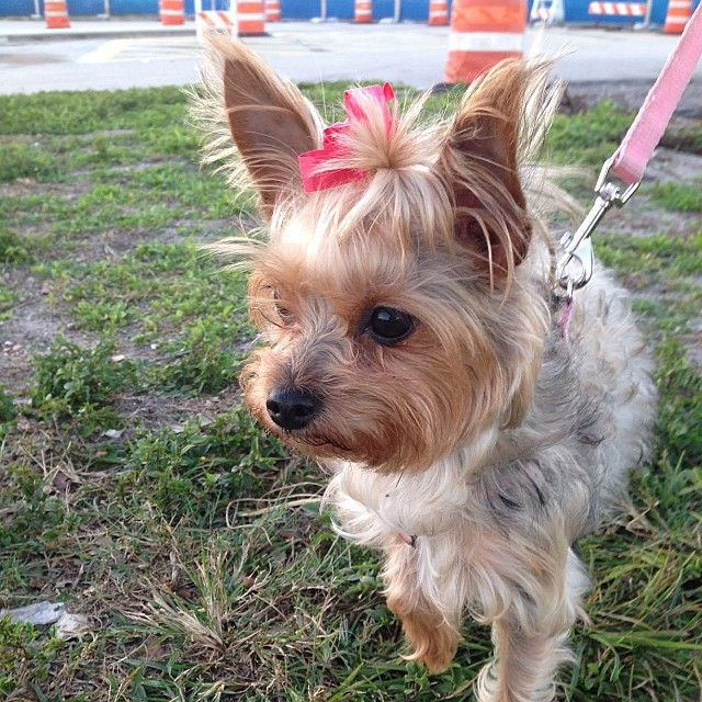 yorkiegram101's photo on Instagram Yorkie, Yorkie mix