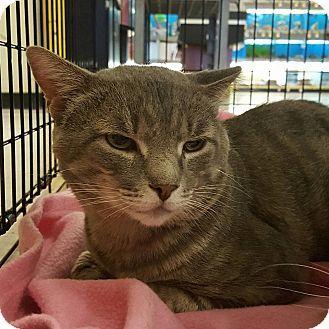 Bensalem, PA - Domestic Shorthair. Meet Flanders, a cat for adoption. http://www.adoptapet.com/pet/15870948-bensalem-pennsylvania-cat