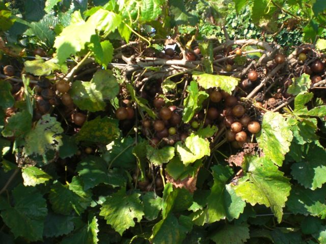 Scuppernong Grape of Roanoke Island Mother Vineyards