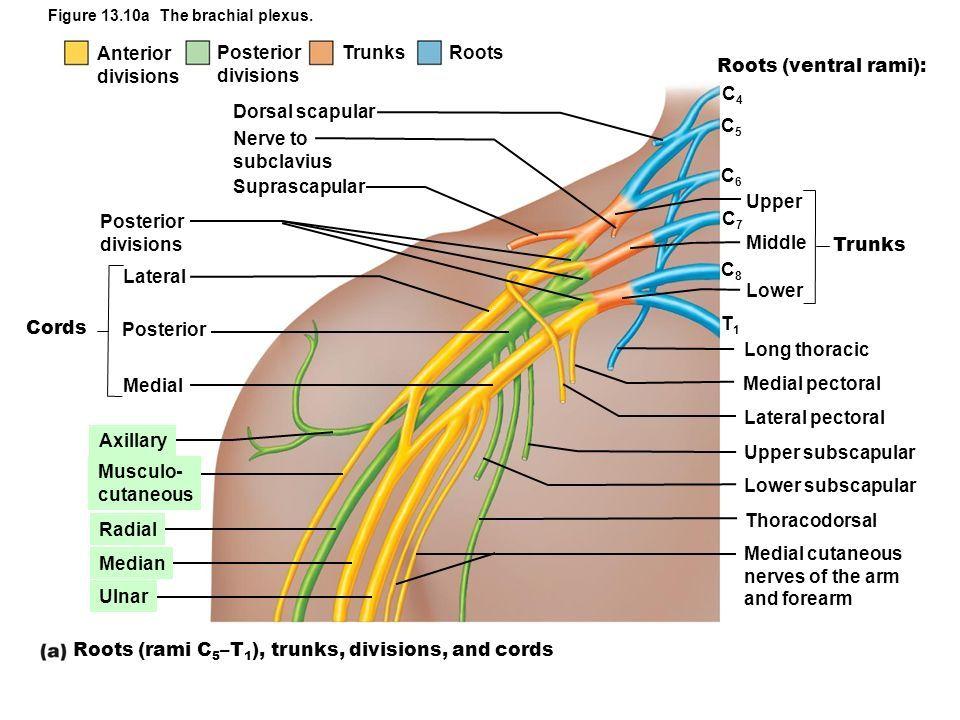 Brachial Plexus Medical Mnemonics Pinterest Nerve Anatomy