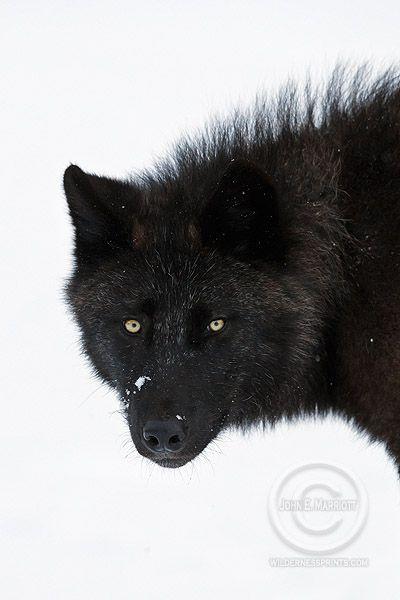 wild wolf_canadian rockies by John E. Marriott