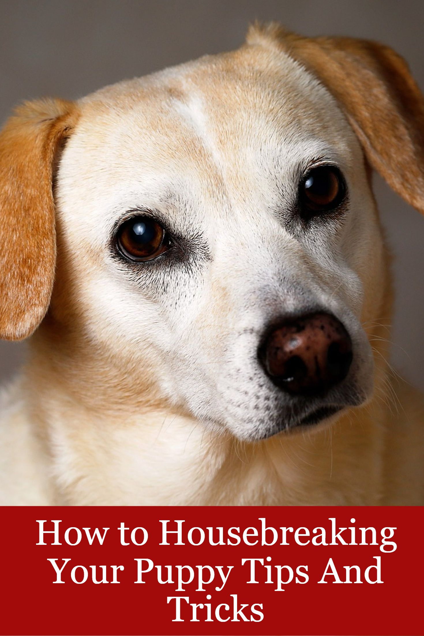 How To Housebreaking Your Puppy Tips And Tricks Puppy Training
