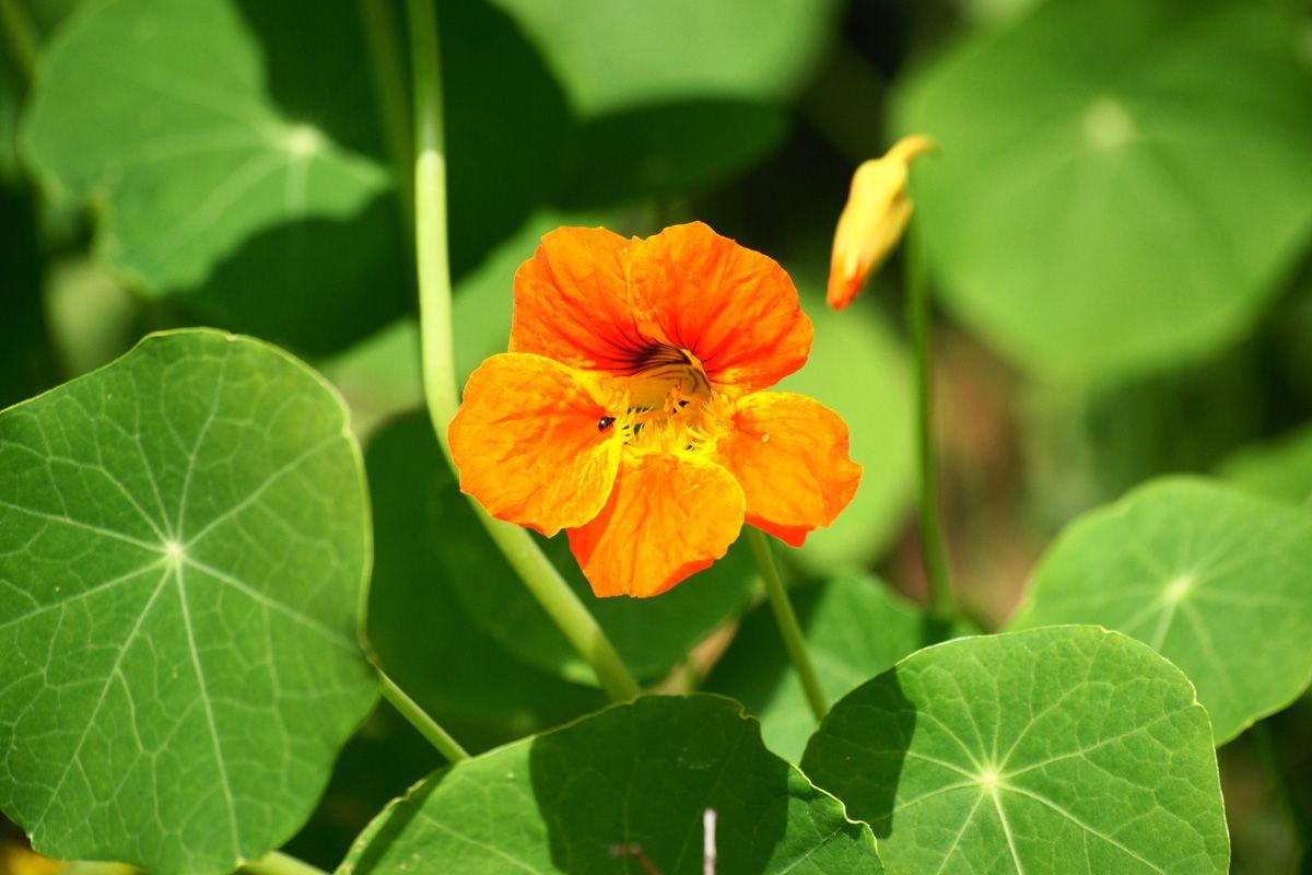 Je to poliehavá trváca bylina, so stonkou dlhou 30 až 200 cm, listy stopkaté, približne okrúhle, štítové, kvety nápadné, oranžovožlté. Plody sú tobolky so semenami dlhými asi 1 cm. Bylinka kapucínka pochádza z Južnej Ameriky a kultivuje sa po celom svete na okrasu. Na našom trhu je dostupná v lekárňach, vo forme tabletiek, tinktúr, Kúpiť sa dajú aj semienka.
