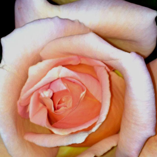Tender Spring Rose