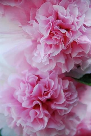 I Love These Flowers They Look Like A Giant Chrysanthemum Or Carnation Or Even Peony With Their Large 4 5 Blooms And With Their Skinny Stems They Ll Appear
