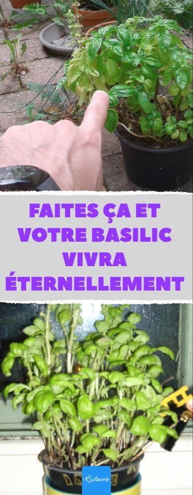 Photo of Faites ÇA et votre basilic vivra éternellement !