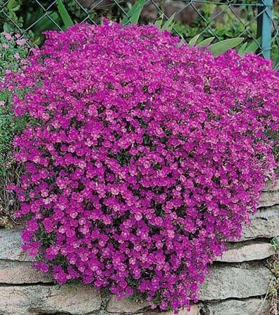 Aubri te royal rouge vivace rocaille et illustration botanique - Phlox vivace couvre sol ...