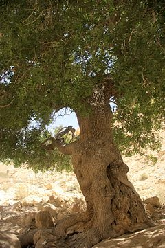 Almácigo (pistacia atlantica) In de bijbel heet hij Terebint