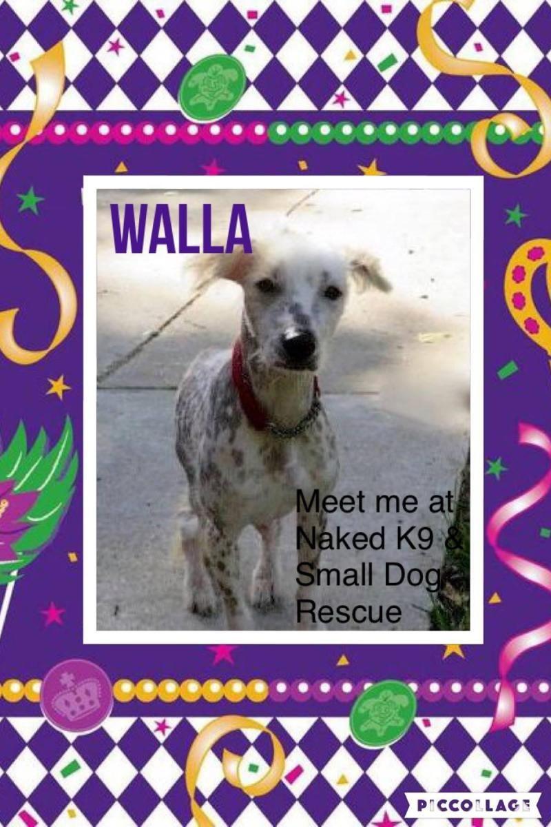 Adopt Walla In Michigan On Small Dog Rescue Rescue Dogs Small Dogs