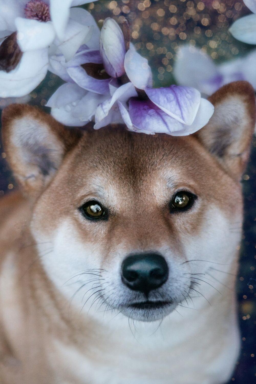 Tamashinu Shiba Inu Photography Shiba Inu Hunde Rassen Hunderassen