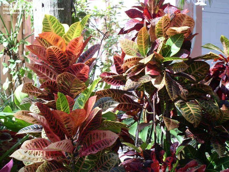 Cróton Ou Folha Imperial Tem Varias Cores Plantas 400 x 300
